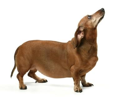 dicker-hund